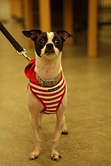 Chihuahua/Rat Terrier Mix Dog for adoption in West Palm Beach, Florida - Milo