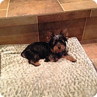 Adopt A Pet :: Yoda - Warsaw, IN