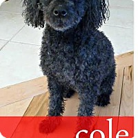 Adopt A Pet :: Cole - Essex Junction, VT