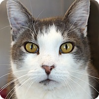 Domestic Shorthair Cat for adoption in Sprakers, New York - Hoover