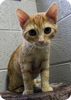 Domestic Shorthair Kitten for adoption in Lexington, Tennessee - Summitt