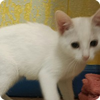 Domestic Shorthair Kitten for adoption in Holden, Missouri - Cocunut Flake