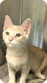 American Shorthair Kitten for adoption in Shelbyville, Tennessee - Tarzan