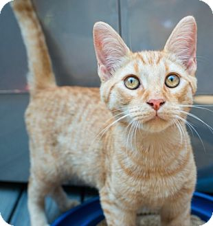 Domestic Shorthair Cat for adoption in Los Angeles, California - Jespa