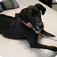 Great Dane Dog for adoption in Raleigh, North Carolina - Abbi