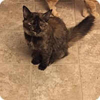 Domestic Shorthair Cat for adoption in Glendale, Arizona - Maddison (teal collar)