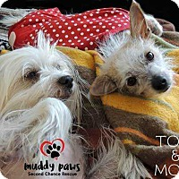 Chinese Crested Dog for adoption in Council Bluffs, Iowa - Toby