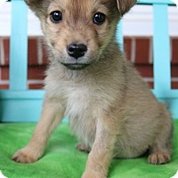 Pomeranian/Beagle Mix Puppy for adoption in Hagerstown, Maryland - Deeks