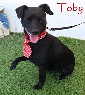 Corgi/Chihuahua Mix Dog for adoption in San Diego, California - Toby
