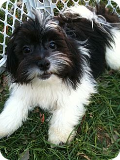 Shih Tzu/Pomeranian Mix Puppy for adoption in Hilliard, Ohio - Gizmo
