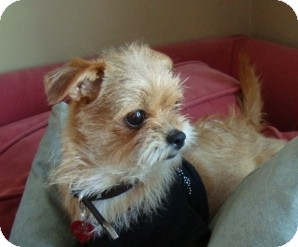 Brussels Griffon/Terrier (Unknown Type, Small) Mix Puppy for adoption in Los Angeles, California - LOLA - ADOPTION PENDING