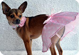 Chihuahua Mix Dog for adoption in Bridgeton, Missouri - Annie-Adoption pending