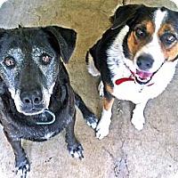 Adopt A Pet :: Blitz - Converse, TX