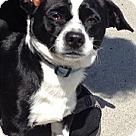 Adopt A Pet :: Tuxedo