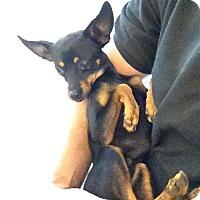 Adopt A Pet :: Guage - Oceanside, CA