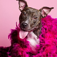 American Staffordshire Terrier Mix Dog for adoption in Baton Rouge, Louisiana - Betty Rue