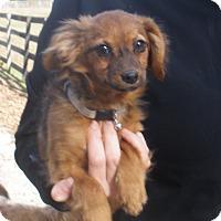 Adopt A Pet :: Belle - Pewaukee, WI