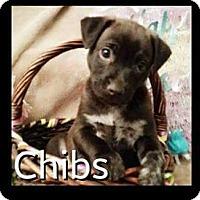 Adopt A Pet :: Gibbs - Rancho Cucamonga, CA