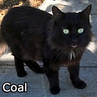 Adopt A Pet :: Coal - Walnut Creek, CA