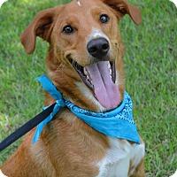 Golden Retriever/Labrador Retriever Mix Dog for adoption in Lafayette, Louisiana - Rusty