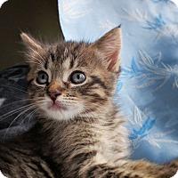 Adopt A Pet :: Abby - Kirkland, WA