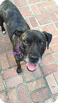 Boxer Mix Dog for adoption in Overland Park, Kansas - Charlotte