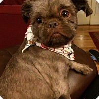 Pekingese/Cairn Terrier Mix Dog for adoption in Portland, Maine - Cody
