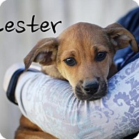 Adopt A Pet :: Lester - Joliet, IL