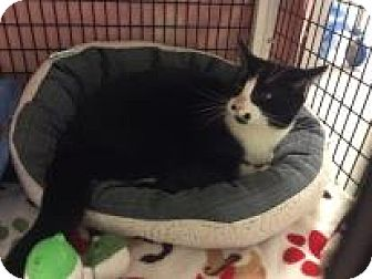 Domestic Shorthair Cat for adoption in Janesville, Wisconsin - Zinc