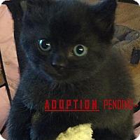 Adopt A Pet :: Magic - Rochester Hills, MI