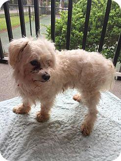 Maltese Mix Dog for adoption in Quentin, Pennsylvania - Chance - Donations Needed!