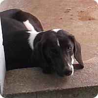 Adopt A Pet :: Tassie - Orangeburg, SC