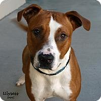 Adopt A Pet :: Ulysess - Santa Maria, CA