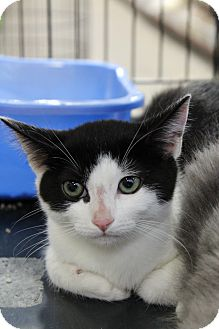 Domestic Shorthair Kitten for adoption in Santa Monica, California - Penelope