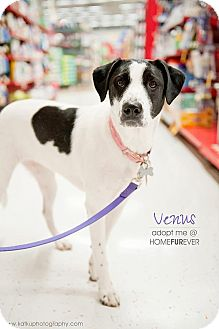 Labrador Retriever/Terrier (Unknown Type, Medium) Mix Dog for adoption in Detroit, Michigan - Venus-Adopted!