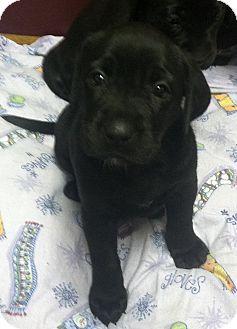 Boxador Puppies Adopted Puppy Columbus Ne Boxer
