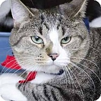 Domestic Shorthair Cat for adoption in Verdun, Quebec - Kombi