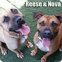Adopt A Pet :: Nova - Encino, CA