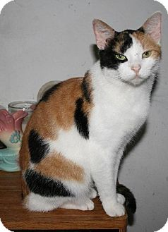 Calico Cat for adoption in Columbus, Ohio - Angel