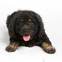 Adopt A Pet :: Sherlock - Nuevo, CA