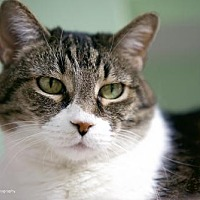 Domestic Shorthair Cat for adoption in Tucson, Arizona - Peebles