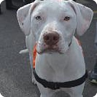 Labrador Retriever/English Setter Mix Dog for adoption in Louisville, Kentucky - Gracie