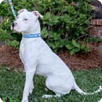 American Bulldog/American Pit Bull Terrier Mix Dog for adoption in Savannah, Georgia - Breeze