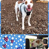 American Staffordshire Terrier Dog for adoption in Goshen, New York - Champ