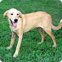 Adopt A Pet :: PUPPY ADONIS - richmond, VA
