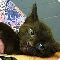 Adopt A Pet :: 47300 Manchu (look like a black tabby) - Zanesville, OH