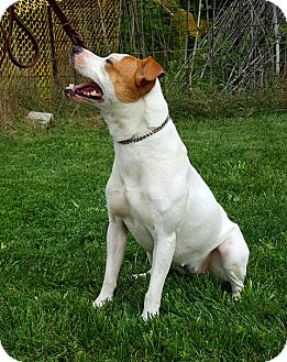 Jack Russell Terrier/American Pit Bull Terrier Mix Dog for adoption in Piqua, Ohio - Honeybee