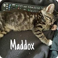 Adopt A Pet :: Maddux - Tega Cay, SC