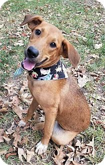 Retriever (Unknown Type)/Shepherd (Unknown Type) Mix Dog for adoption in Brattleboro, Vermont - Izzee ~ ADOPTED!