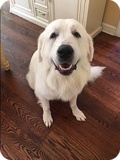 Great Pyrenees Mix Dog for adoption in Bedford Hills, New York - Titan